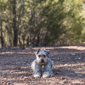 schnoodle-3297816_640